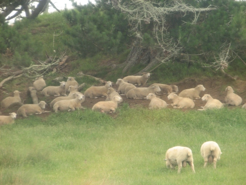 Sheep on the Alexander Farm - Site of the Shire Set