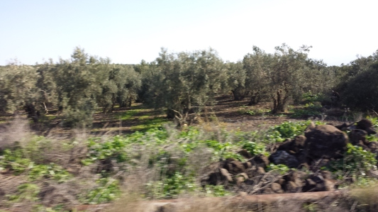 Olive Groves near Nazareth