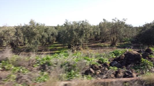 Olive Groves near Nazareth