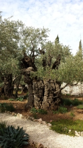 Olive grove beside the church
