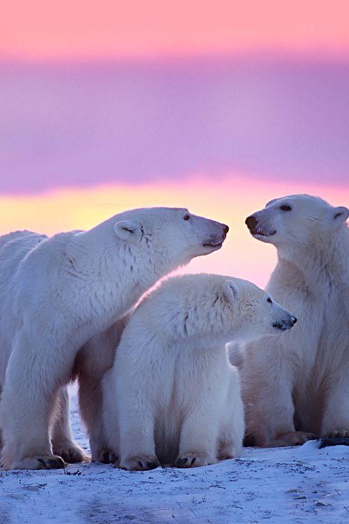 ANWR Polar Bears